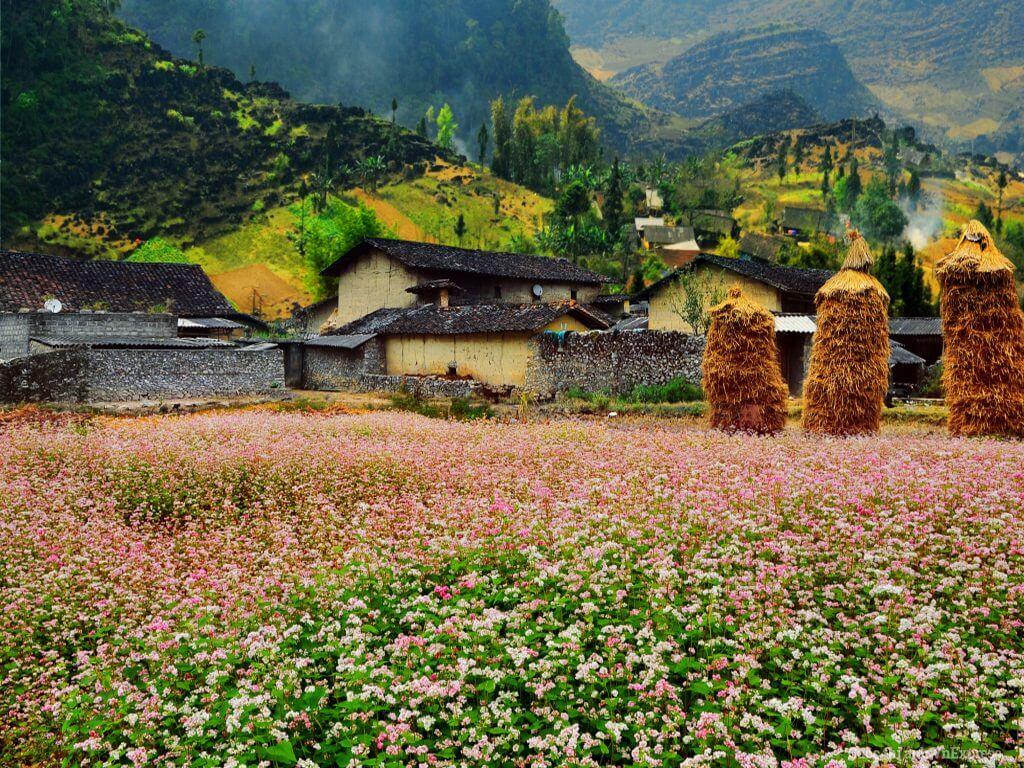 Du lịch hà giang ngắm hoa tam giác mạch