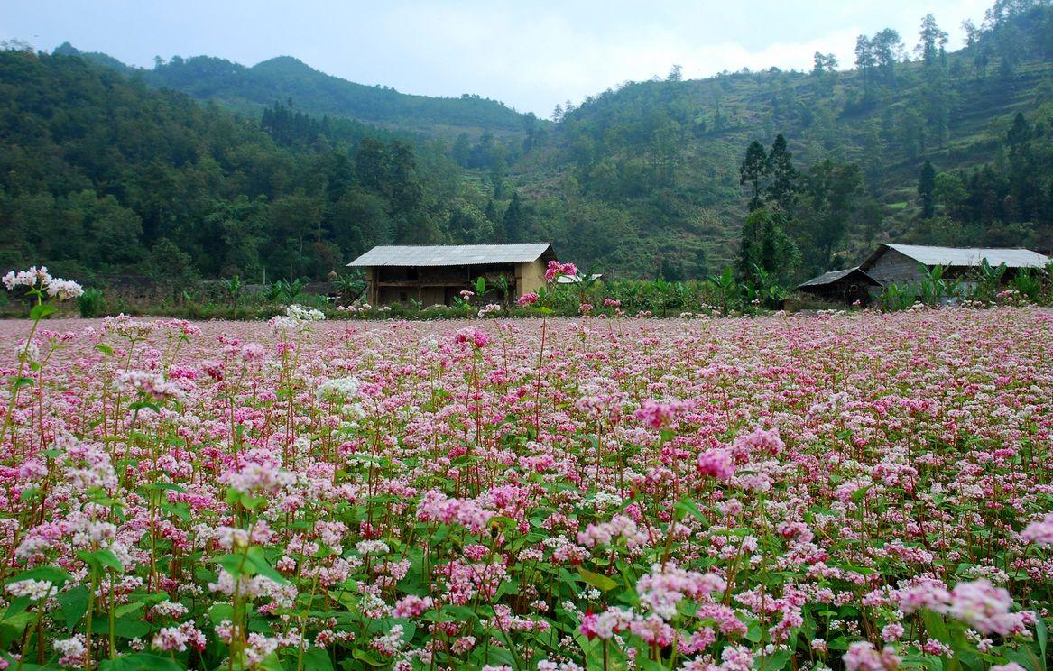 Lễ hội hoa tam giác mạch Hà Giang năm 2017