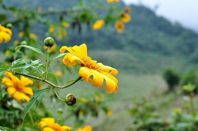 Du lịch Mộc Châu ngắm hoa dã quỳ ngày đông