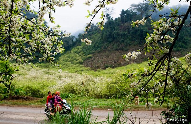 Kinh nghiệm Du lịch Mộc Châu tháng 2 ngắm hoa mận, hoa đào nở rộ trắng rừng